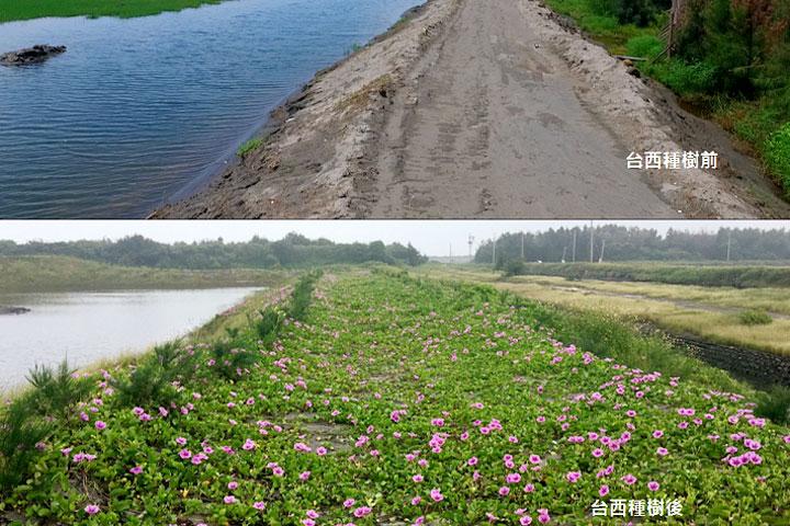 台西海園種樹前後的比較圖